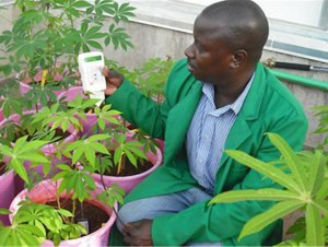 Laban Turyagyenda measures soil moisture content with digital soil meter in a greenhouse at the BecA-ILRI Hub in Nairobi