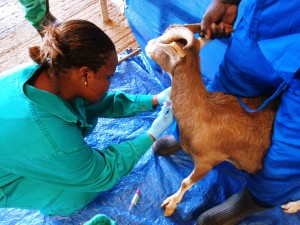 Sarah Osama takes blood samples from a goat in Ethiopia