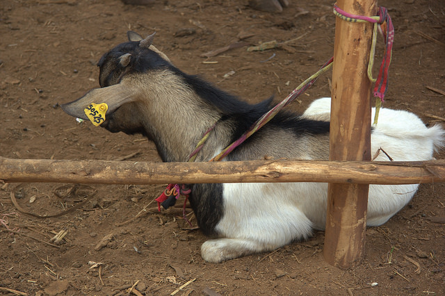 This Ethiopian goat displays its identity card proudly. (Photo credit:ILRI/Wondmeneh Esatu)