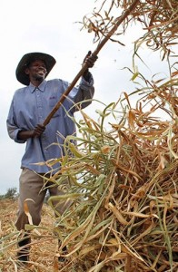 Farmer in Rwanda makes hay from improved variety of Brachiaria grass (photo credit: CIAT/Stephanie Malyon)