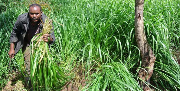 Farmer harvesting Brachiaria grasses in Kenya