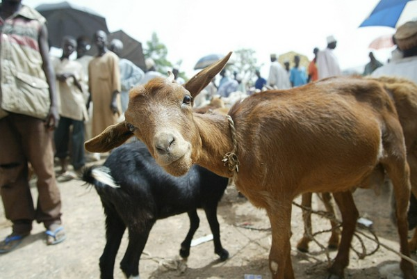 Goat in a market in Nigeria (photo credit: ILRI/Mann).
